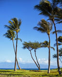 Maui palm trees, Hawaii Stock Photo