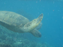 Maui's pretected green turtle. A green turtle swims by underwater stock photography