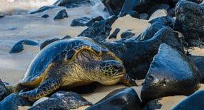 Maui Turtile Foto de Stock Royalty Free