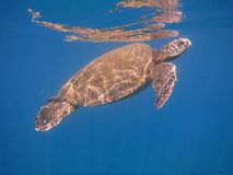 Maui turtle first breath out from the reef. Blue background with Maui sea turtle in the middle Stock Image