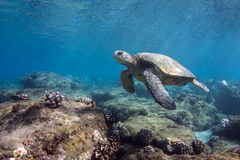 Maui Turtle. A green sea turtle in Maui, HI Stock Image