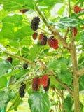 maulbeere Lizenzfreies Stockbild