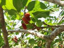 maulbeere stockbilder