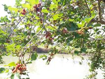maulbeere stockfotografie