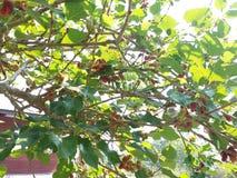 maulbeere lizenzfreie stockfotografie