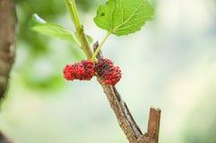 maulbeere stockfoto