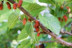 maulbeere Stockbild