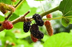 Maulbeere auf Maulbeerniederlassung, essfertig, süß und geschmackvoll Lizenzfreies Stockfoto