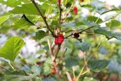 Maulbeere, die im Garten, Thailand pflanzt Stockfotos