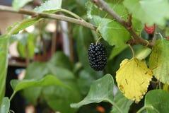 Maulbeerefrucht lizenzfreies stockfoto