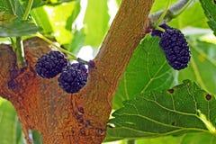 Maulbeeren auf einem Baum Stockfotografie