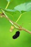 Maulbeeren in einem Baum stockfotos