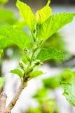 Maulbeeren-suNew Stumpf der Maulbeere ist wachsend Lizenzfreie Stockbilder