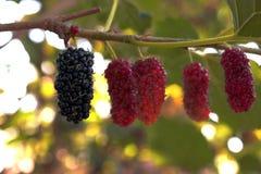Maulbeerobstbau oben im Garten zu Hause, schauen frisch und geschmackvoll lizenzfreies stockfoto