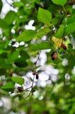 Maulbeerwein für und wenige Lizenzfreies Stockfoto