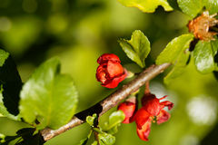 Maules quince Chaenomeles japonica Stock Photography