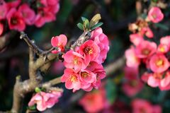 Maules quince or Chaenomeles japonica flowering quince growing as thorny deciduous shrub with multiple fully open blooming bright royalty free stock photos