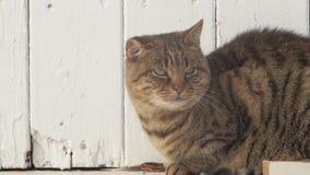 Maullido del gato grande almacen de metraje de vídeo
