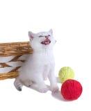 Maullidos británicos de un gatito de Shorthair Aislado en el backgroun blanco Imágenes de archivo libres de regalías