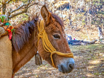 Maultier in Himalaja Stockfotos