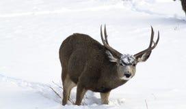 Maultier-Rotwild-Dollar im Schnee Stockbilder