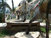 Maultiere im Dorf Stockbild