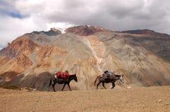 Maultiere in Zanskar Stockbild