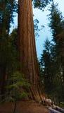 Maultierhirsch-Mammutbaum und Nationalpark König-Canyon, Kalifornien stockfoto