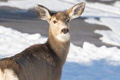 Maultierhirschdamhirschkuh mit den wachsamen Ohren im Winter lizenzfreies stockfoto