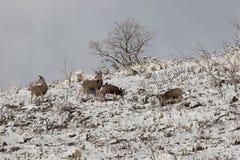 Maultierhirsche auf dem Bergabhang im Winter lizenzfreie stockfotos