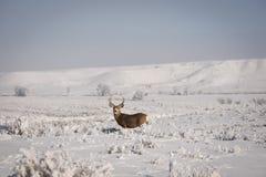 Maultierhirsche Buck With Misty Winter Background Stockfotografie
