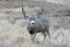 Maultierhirsche Buck On The Move Wilde Rotwild auf den Hochebenen von Colorado stockbilder