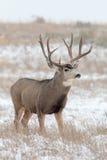 Maultierhirsche Buck Standing im Schnee Lizenzfreie Stockfotos