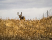 Maultierhirsche Buck Walking Through Prairie Grasses Lizenzfreies Stockfoto