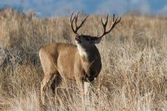 Maultierhirsche in Colorado lizenzfreies stockfoto