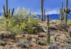 Maultierhirsche, die in die ruhige Sonora-Wüste einziehen lizenzfreie stockfotografie