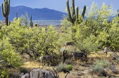 Maultierhirsche, die in die ruhige Sonora-W?ste einziehen stockbilder