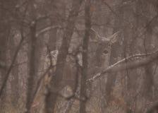 Maultierhirsche in einem schneebedeckten Wald, der bis zum Winter versteckt wird, entblößen Bäume Stockfoto
