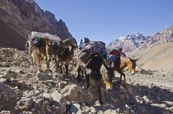 Maultierwohnwagen im Berg Stockbilder
