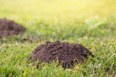 maulwurfshügel Schädigender Rasen ist es Ergebnis der europäischen Moletätigkeit Diese Plage ist alias Talpa Europaea lizenzfreie stockbilder