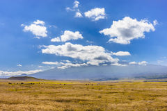 Mauna Kea. Cattle feeding at the foot of the Mauna Kea Mountain, Big Island, Hawaii, USA Royalty Free Stock Photos