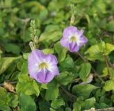 Maurandya in bloom. Maurandya flowers in full bloom stock images