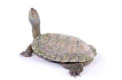 Free Mauremys Leprosa Caspica (Galapago Leproso) Royalty Free Stock Photography - 29541657