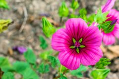 Maurentanische Malve rosa grön closeup royaltyfri foto