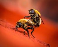 Maurerarbeit-Bienen Lizenzfreie Stockfotografie