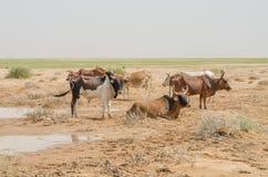 Mauretański bydło z bykami i krowami w saharze przy waterhole, Mauretania, afryka pólnocna Zdjęcia Royalty Free