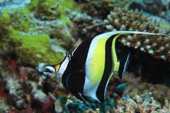 Mauretańska idol ryba Zdjęcia Royalty Free