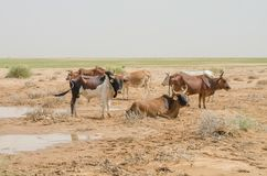 Mauretanisches Vieh mit Stieren und Kühen in der Sahara-Wüste am waterhole, Mauretanien, Nord-Afrika Lizenzfreie Stockfotos