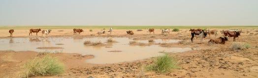 Mauretanisches Vieh mit Stieren und Kühen in der Sahara-Wüste am waterhole, Mauretanien, Nord-Afrika Stockbilder