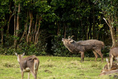 Mauritian Stag belling Stock Images